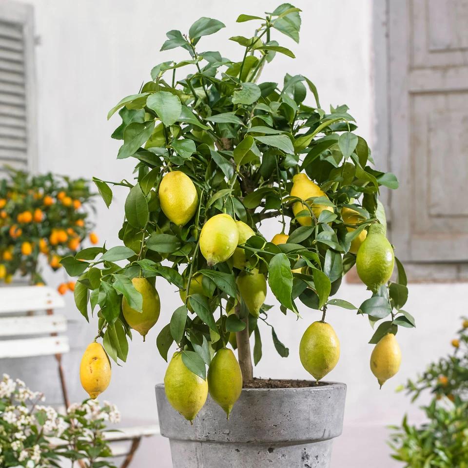 Grandi Alberi Da Giardini pin su cuisine - cooking