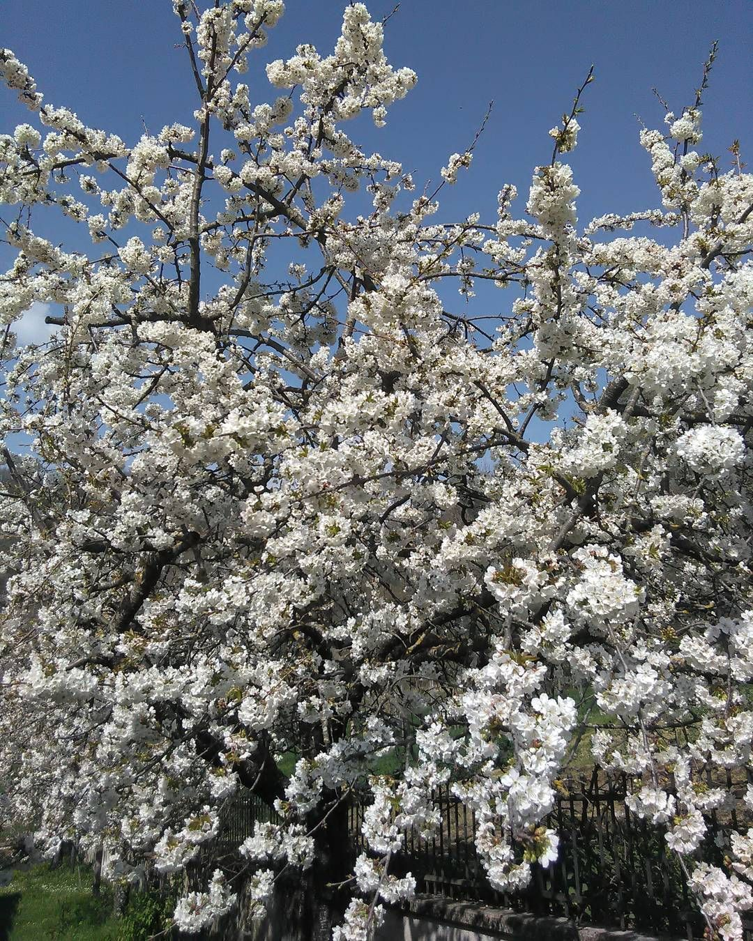 #alberodafrutto#ciliegio  #fiore#natura#cieloazzurro by lorymarciano77