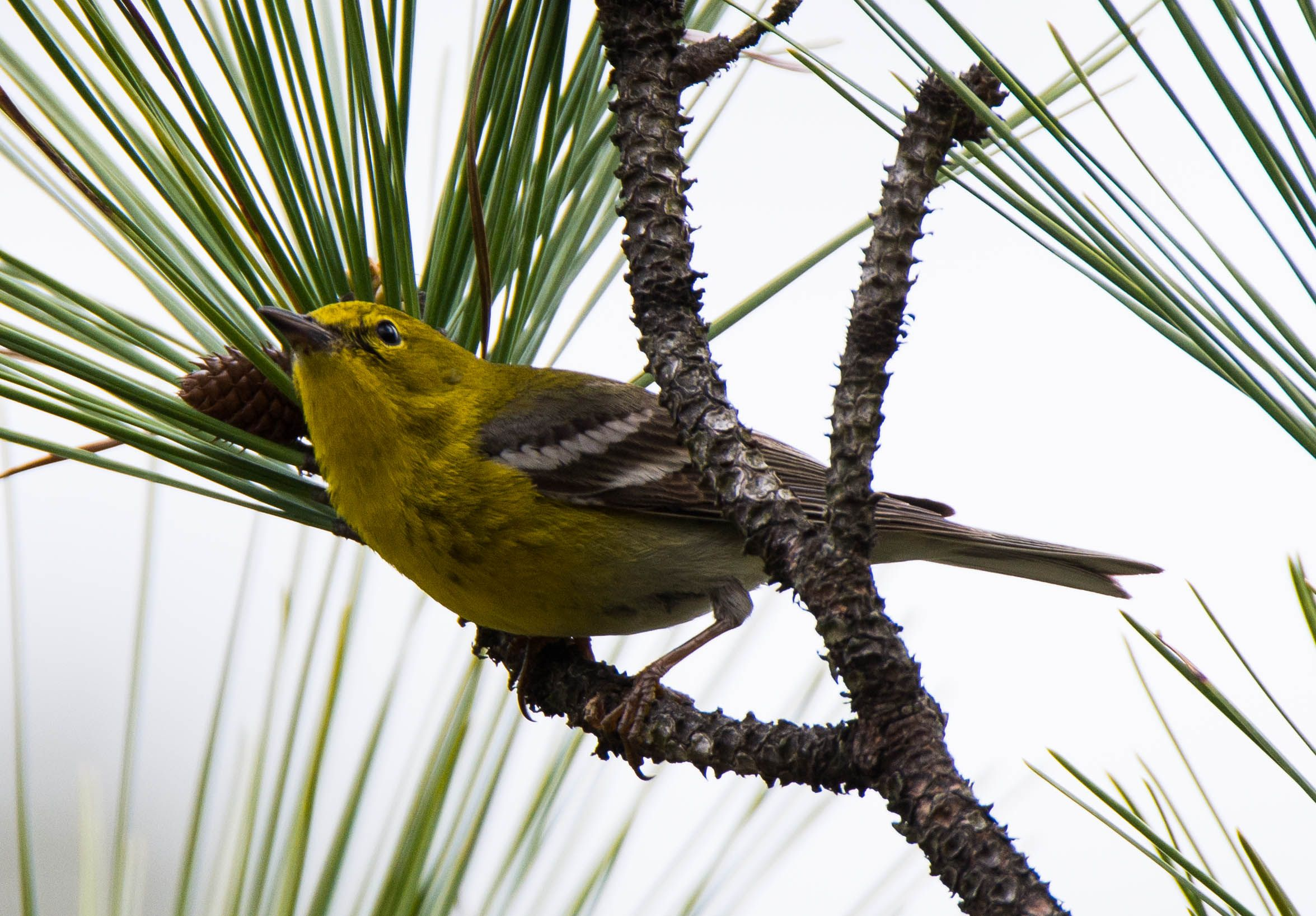 Pine Warbler: 26 March 2016, Belle Isle State Park, Lancaster, VA; 9.15 a.m., 55 degrees, mostly cloudy, slight breeze