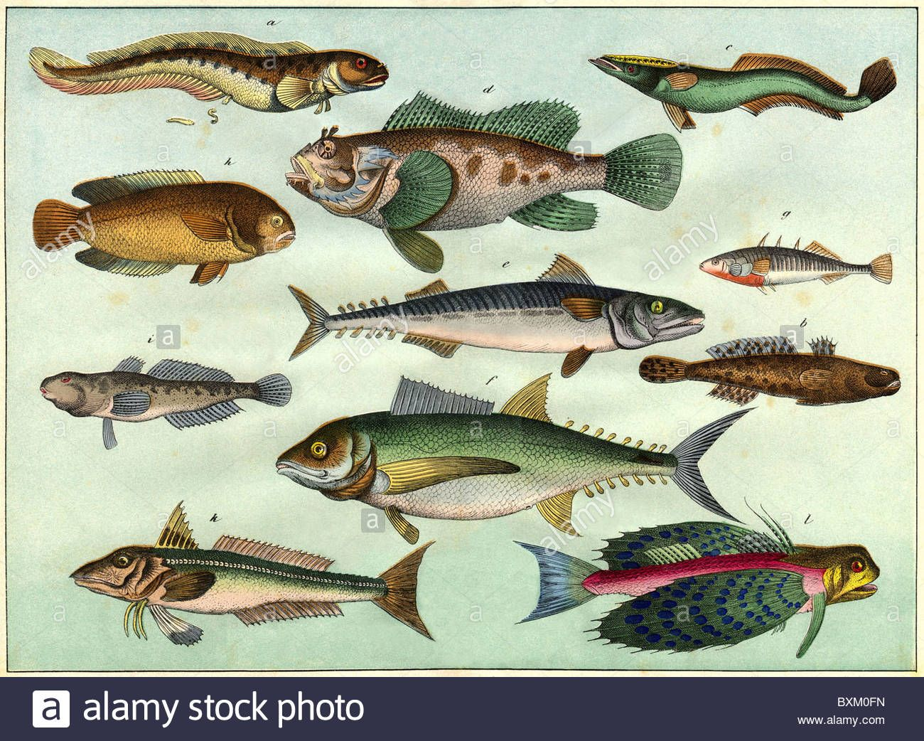 Download This Stock Image Zoology Animals Fish Decorative Lithograph With Different Fish Species Germany 1870 1870s 19t Zoology Animals Different Fish