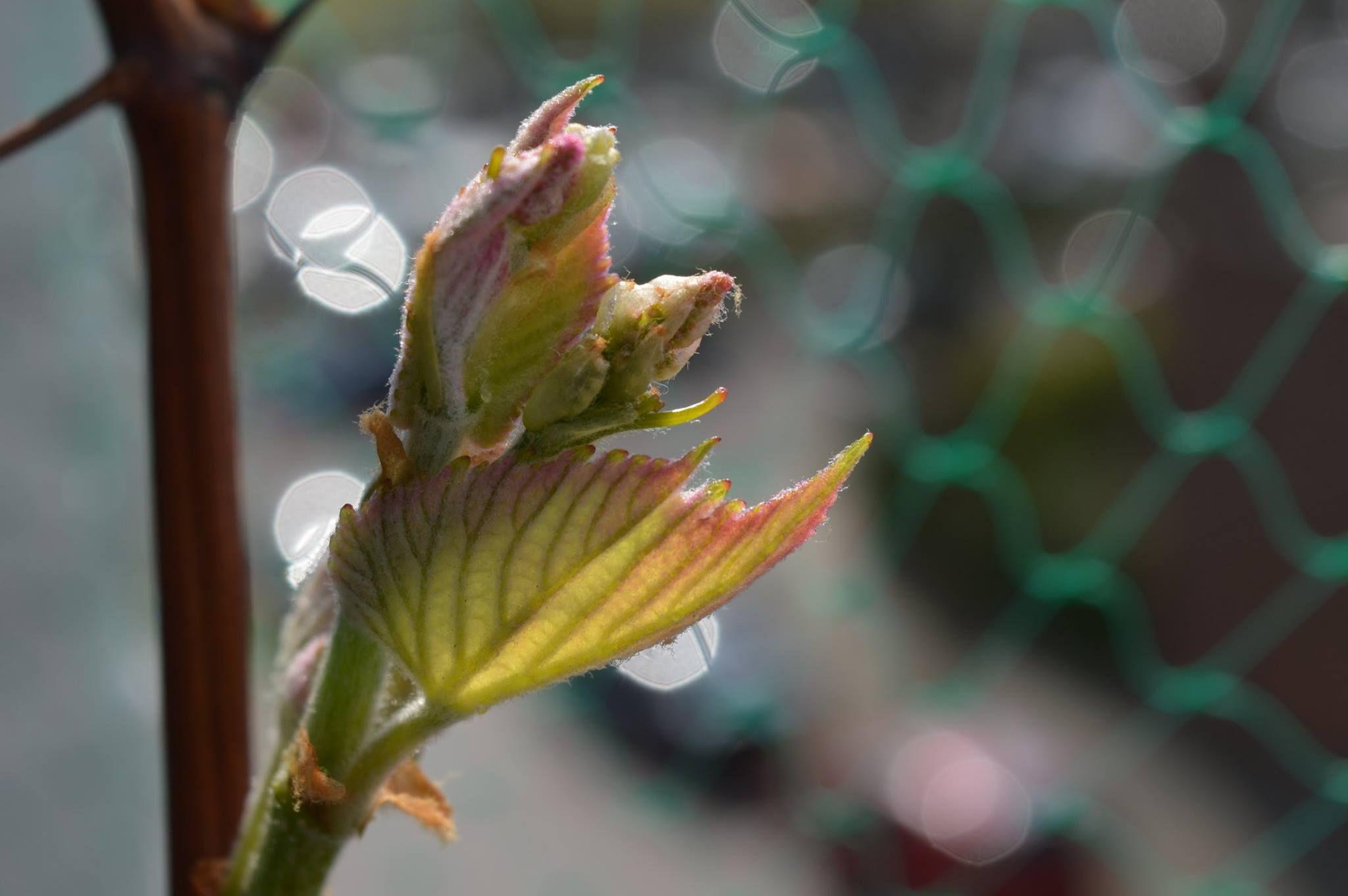 De druivenboom heeft ook weer blaadjes... Mei 2015