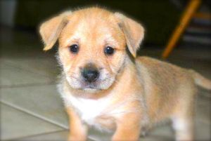 Adopt Drizelle S Pups Hiccup On Puppy Labrador Retriever