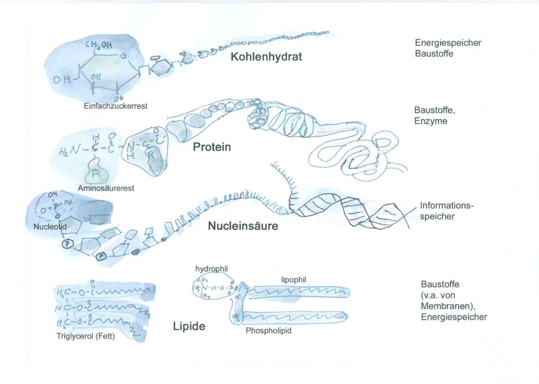 Grafik Zu Biomolekulen Unterrichtsmaterial Im Fach Chemie In 2020 Unterrichtsmaterial Lehrmaterial Chemie