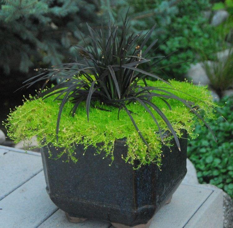 Pflanzen Nach Feng Shui schwarzer schlangenbart ziergras im kübel pflanzen blumen