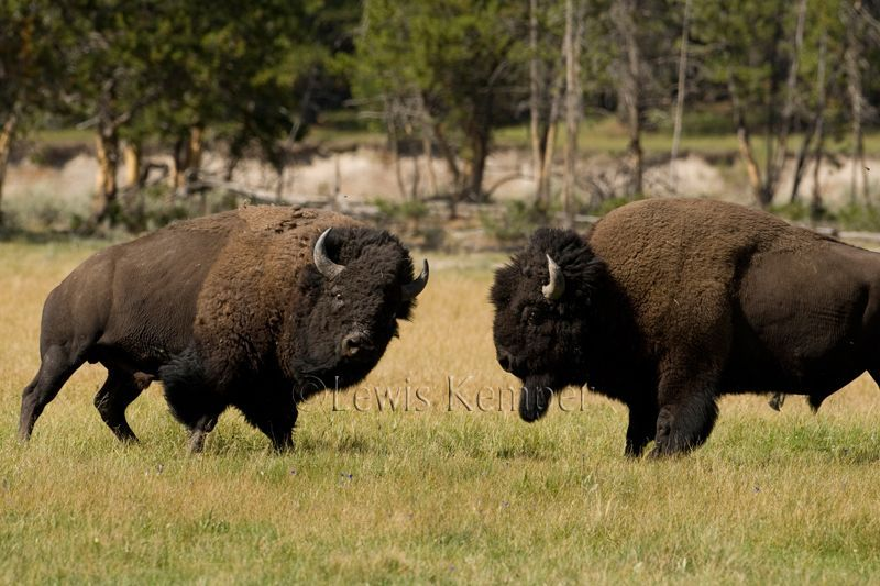 Essay Topic: Era of the Plains Bison?