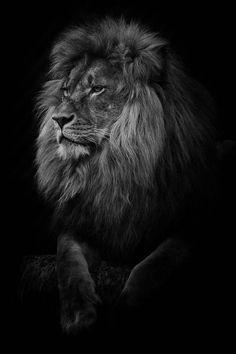 lion wallpaper by Alex10bet - 105f - Free on ZEDGE™