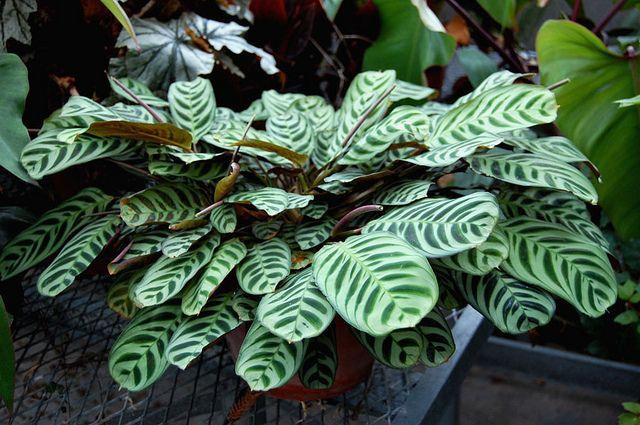 Calathea MakoyanaPeacock PlantTerrarium HouseplantPrayer Plant