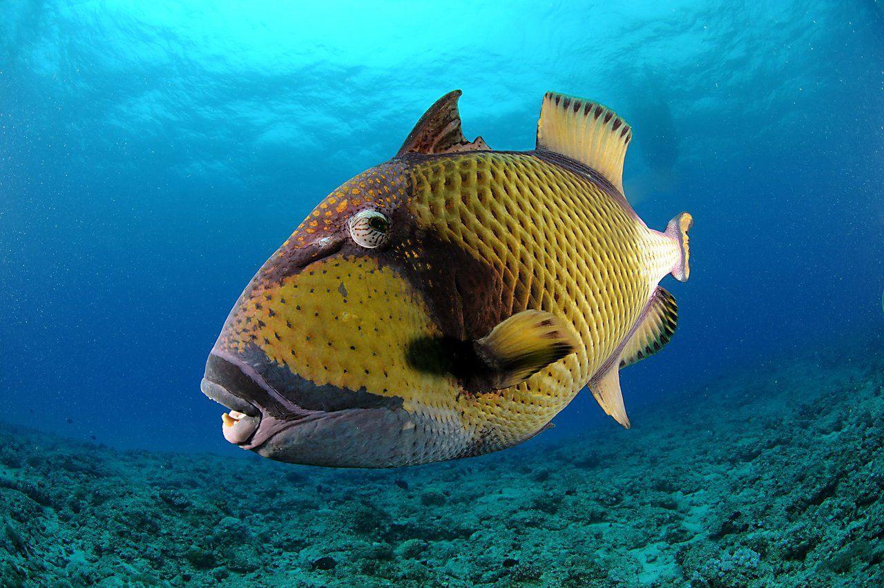 humuhumunukunukuāpuaʻa is hawaii u0027s national fish can you say that