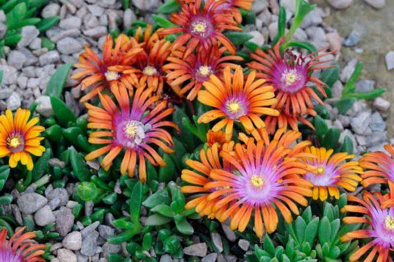 Delosperma Fire Spinner Ice Plant Fire Spinner Fire Spinner Ice Plant Drought Tolerant Perenn Waterwise Landscaping Plants Drought Tolerant Perennials