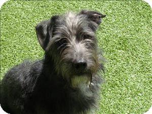 Birmingham Al Terrier Unknown Type Medium Schnauzer