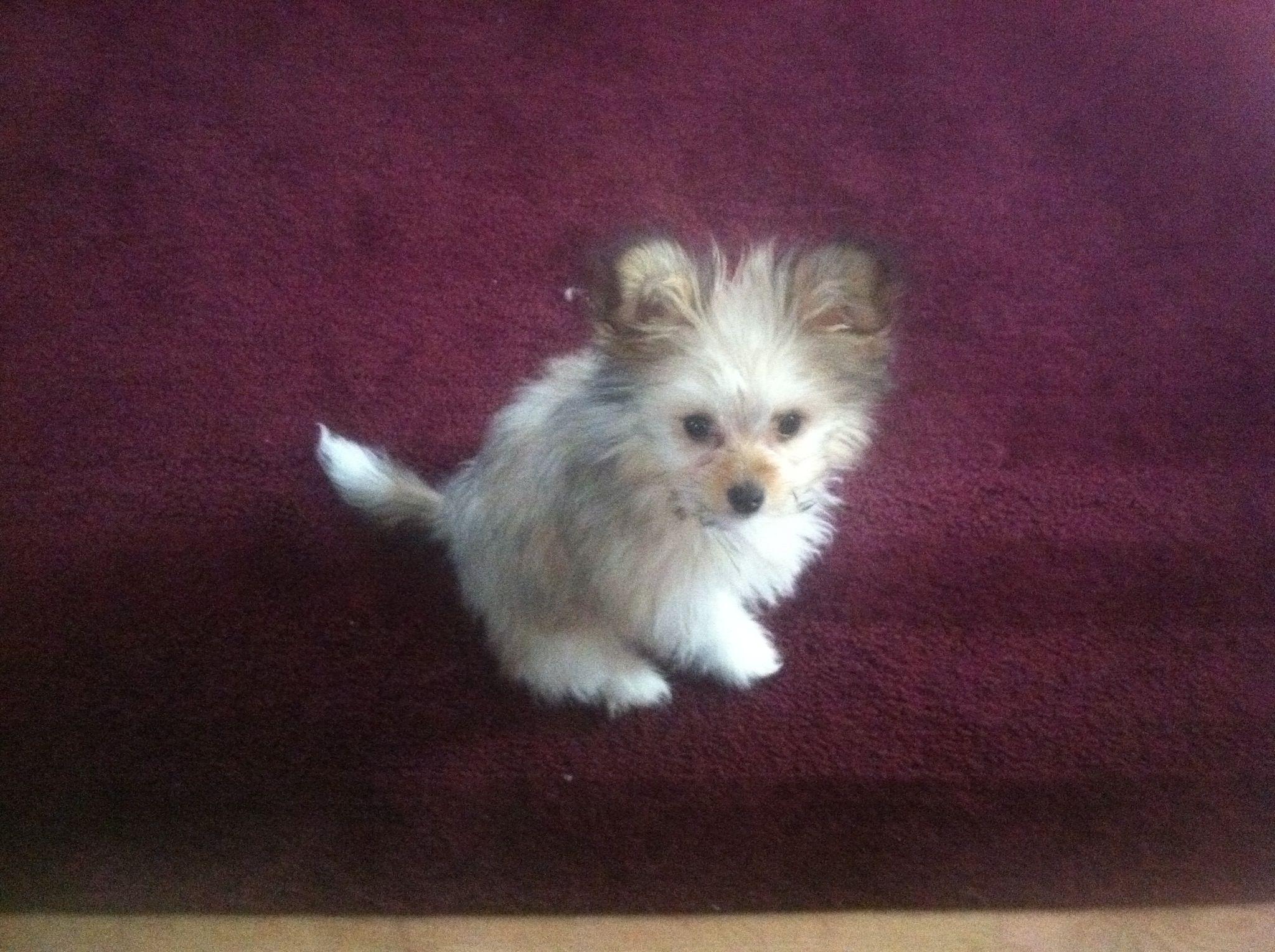 Pomeranian Chihuahua and Maltese mix | Cute stuff ...
