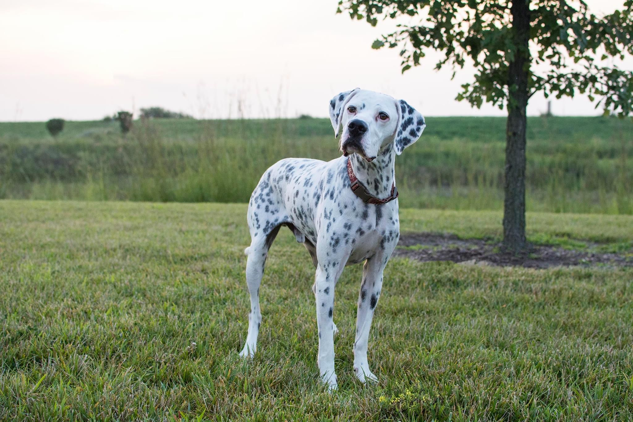 Adopt Rory on Dalmatian mix, Animal rescue, Dogs