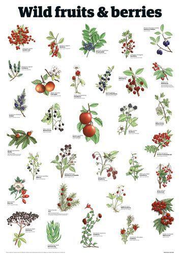 701c1c32625cbb6081a12b0eb0050ccb Jpg 354 500 Edible Wild Plants Wild Plants Plants