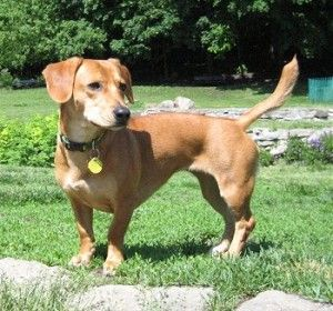Beagle Dachshund Mix Info Site With Images Beagle Mix
