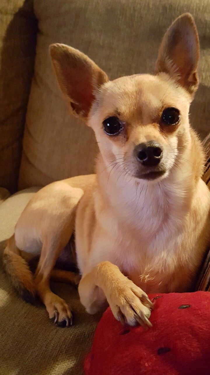 Twinkles The Deer Head Chihuahua Deer Chihuahua