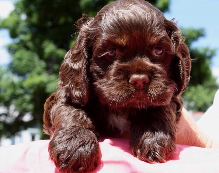Cocker Cutie With Images Cocker Spaniel Puppies Chocolate Cocker Spaniel Spaniel Puppies