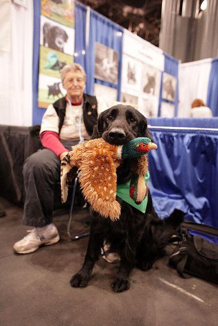 Img 5412 Flat Coated Retriever Curly Coated Retriever Water Dog