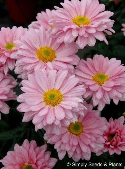 Www Simplyseedsandplants Co Uk Chrysanthemum Fall Mums Flower Images