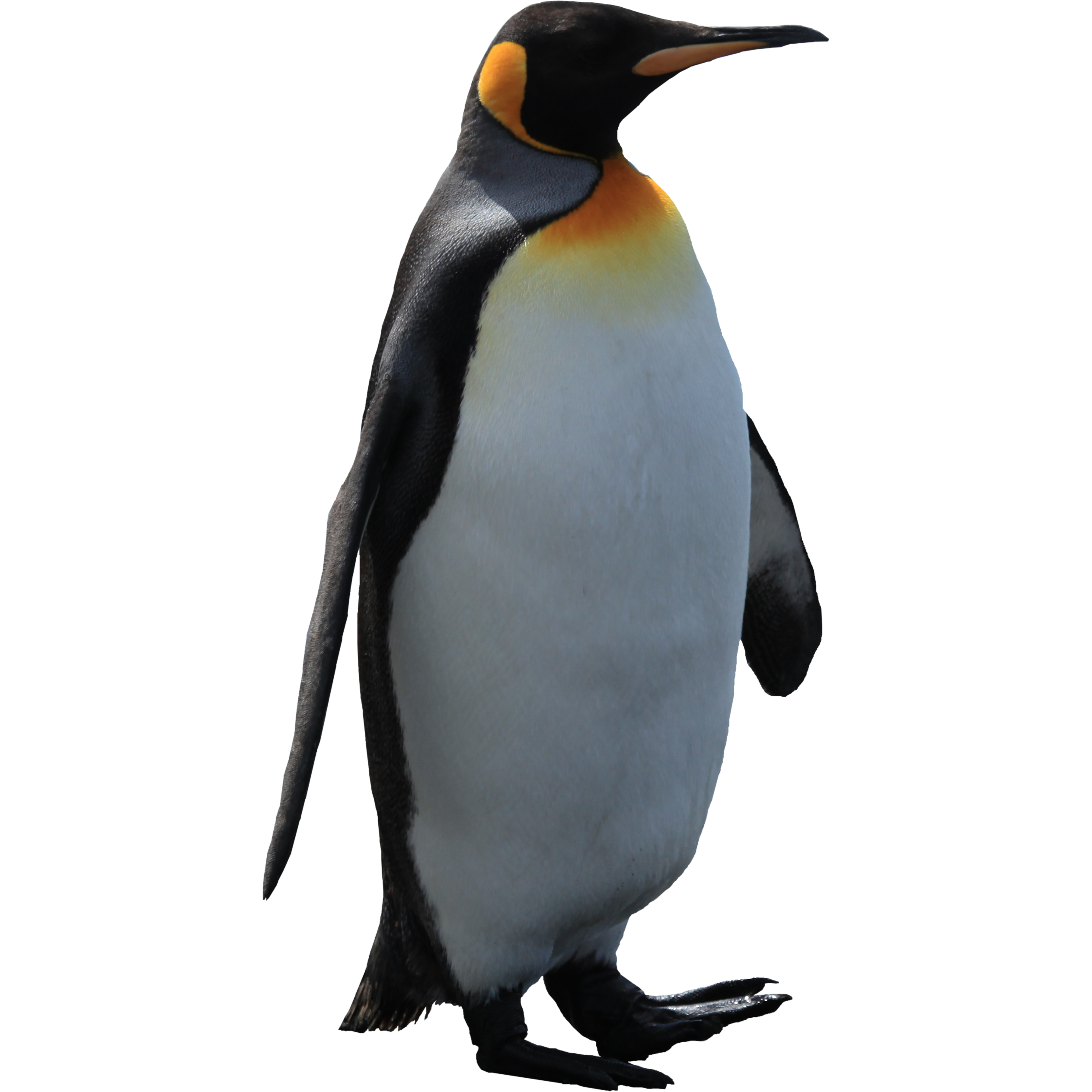 Imperator penguin PNG image image with transparent