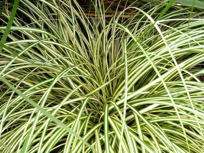 Carex Oshimensis u0027Evergoldu0027, Sedge u0027Evergoldu0027, Carex hachijoensis - carex bronze reflection