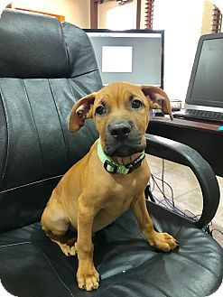 Ft Myers Fl Boxer Black Mouth Cur Mix Meet Lemieux A Puppy