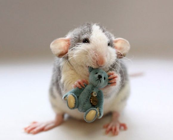 All About Syrian Teddy Bear Hamster Cute Rats Pet Rats Cute