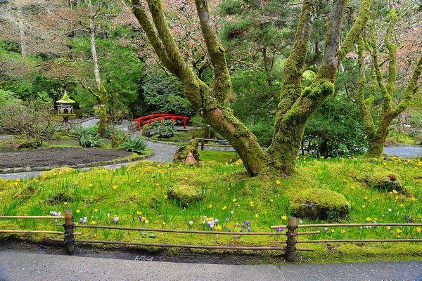 Crocus peaking through the moss bed in Japanese Garden...Butchart Gardens