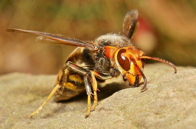 En alsof gewone wespen nog niet kut genoeg zijn, komen er mega-exemplaren aan