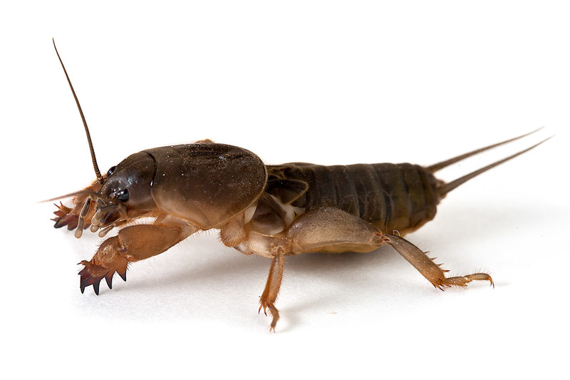 Mole Cricket Mole Cricket Arthropods Bugs And Insects