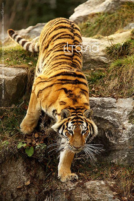 Hunting the monkeys by Eltasia Tiger habitat, Cute