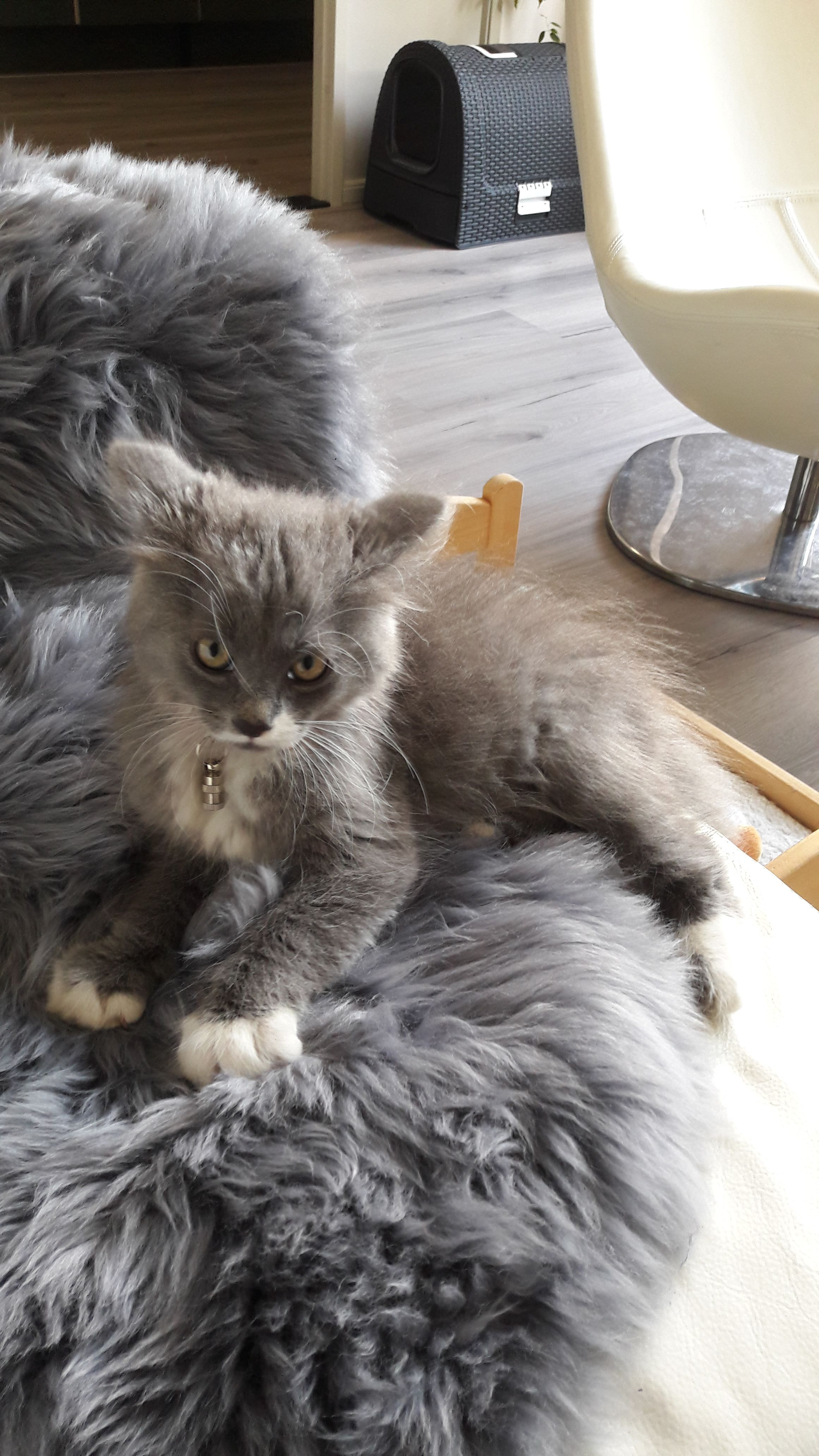 The Cuddable Beautiful Grey Kitten Of A Silver Tabby British