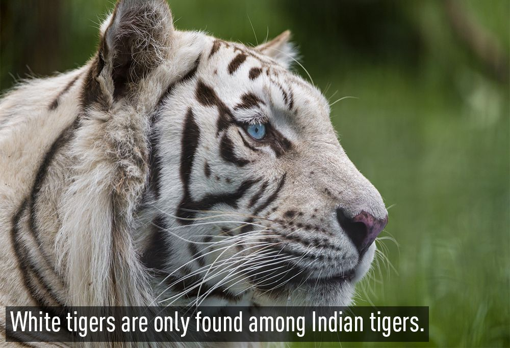 27 interesting facts about India Tiger, Majestic animals