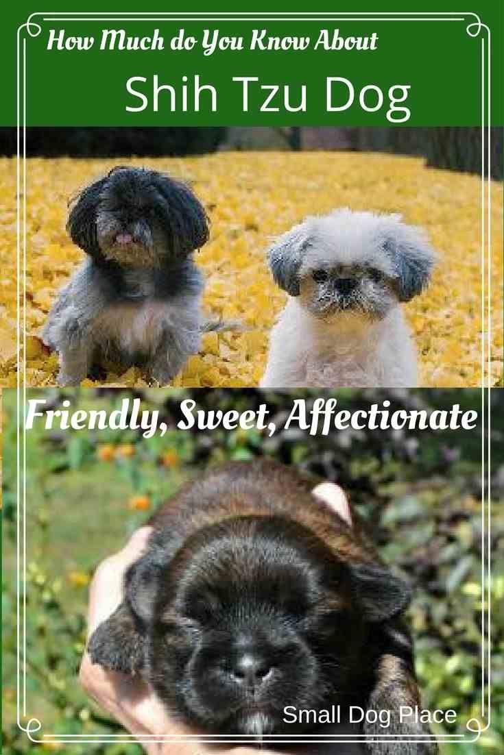 Shih Tzu Dog Breed Profile Information Facts Pictures In 2020 Shih Tzu Dog Shih Tzu Dog Breeds