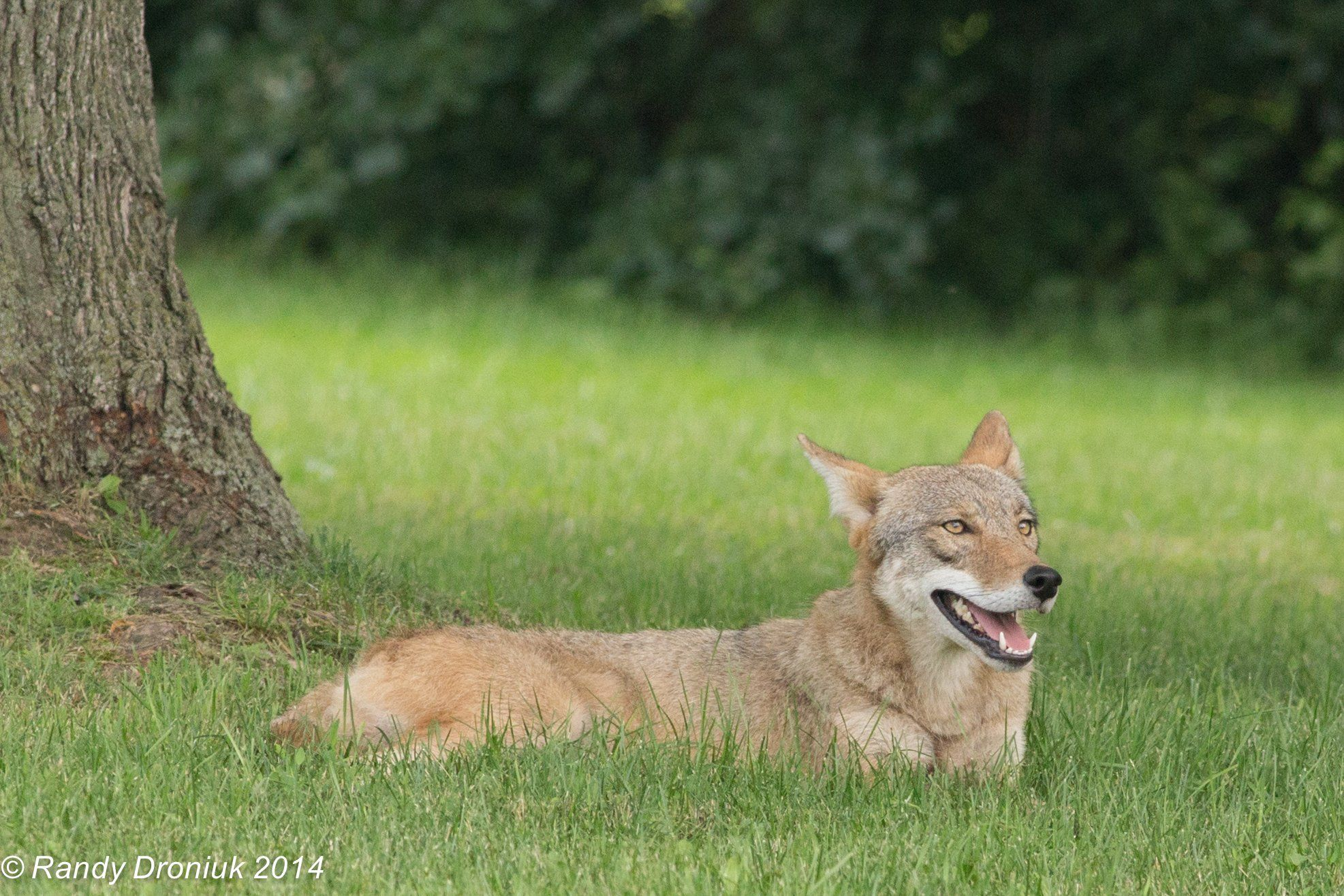 Eastern Coyote Or Coywolf Most Hybrids Don T Do Well But The Coywolf Has Combined The Best Of Both And Is Not Just Surviving But Thri Animals Predator Creatures