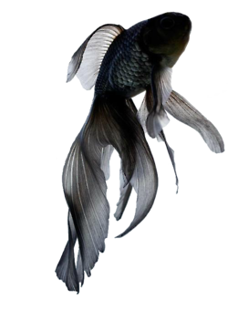 Poisson Combattant Voile Black White Poisson Tatouage Et