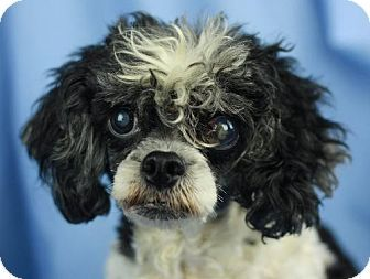Danbury Ct Poodle Toy Or Tea Cup Shih Tzu Mix Meet Wilma A Dog For Adoption Animal Snacks Pets Toy Poodle