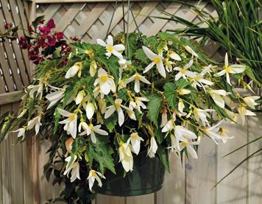Begonia boliviensis Sun Cities Santa Barbara 36 Strip Tray