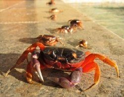 Stroll along the seashore early in the morning or just after the sun has set and you will see crabs scuttling across the sand; waving their claws....