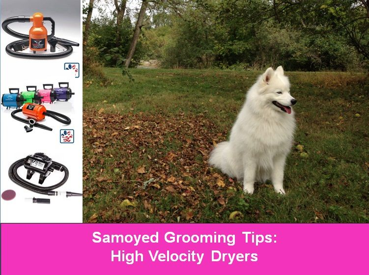 Grooming A Samoyed Dog Shows High Velocity Dryer Forced Air