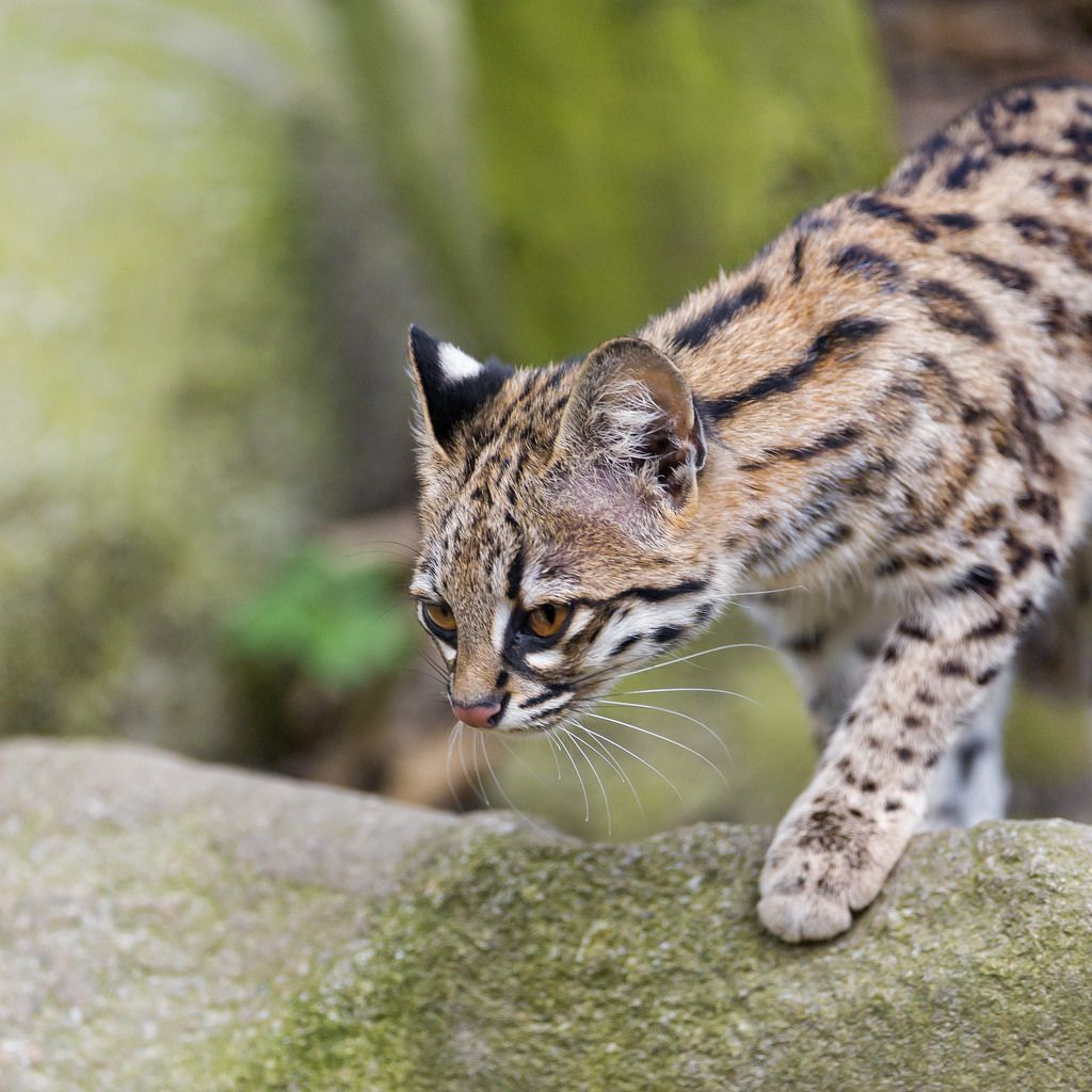 Oncilla leopardus tigrinus also known as the little spotted cat or oncilla leopardus tigrinus also known as the little spotted cat or tirgillo the gumiabroncs Gallery