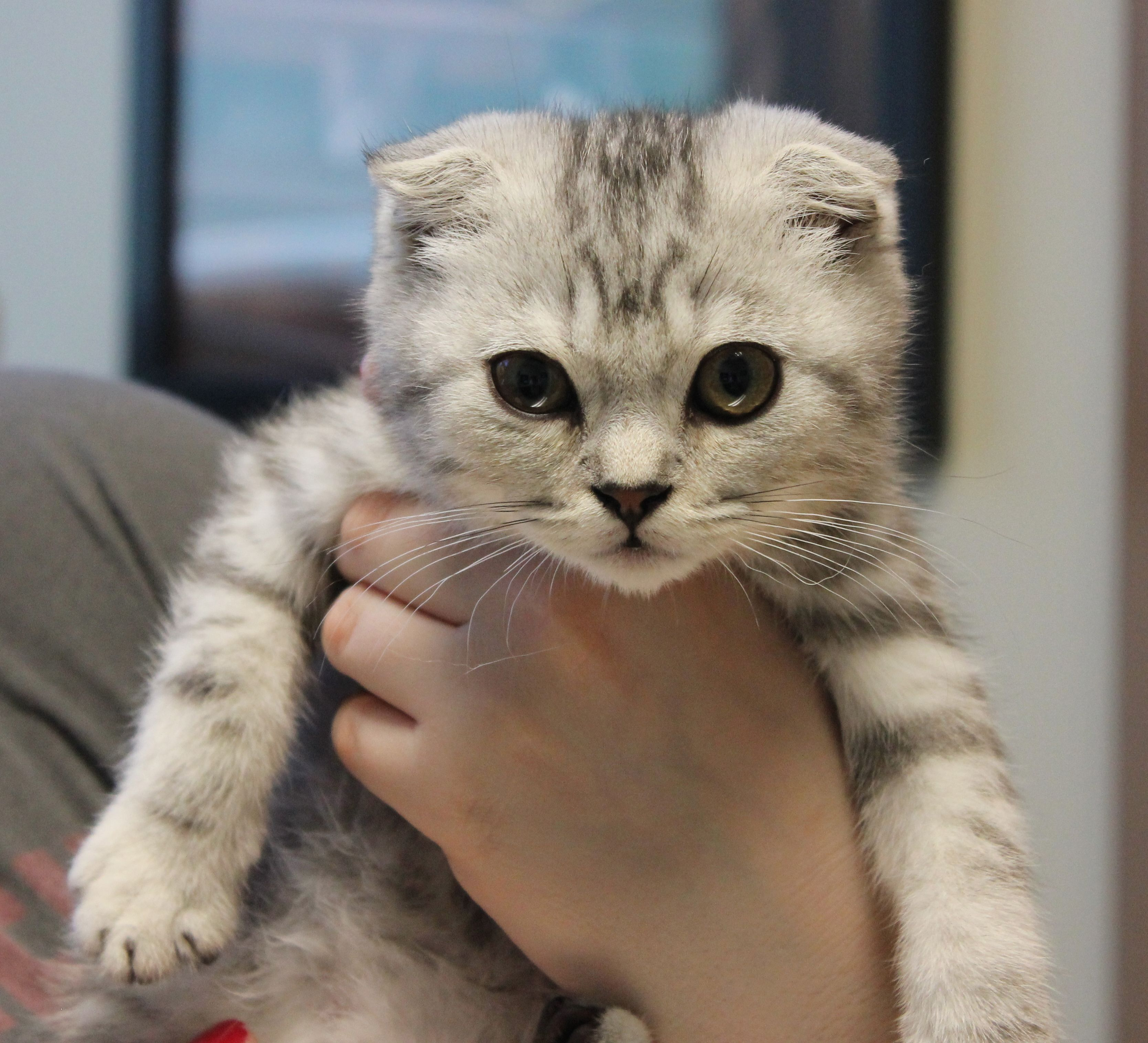 Dugal Mctabby A 13 Week Old Scottish Fold Kitten Came In To See Dr Yoakum For His New Kitten Exam All Scot Scottish Fold Kittens Cute Animals Scottish Fold
