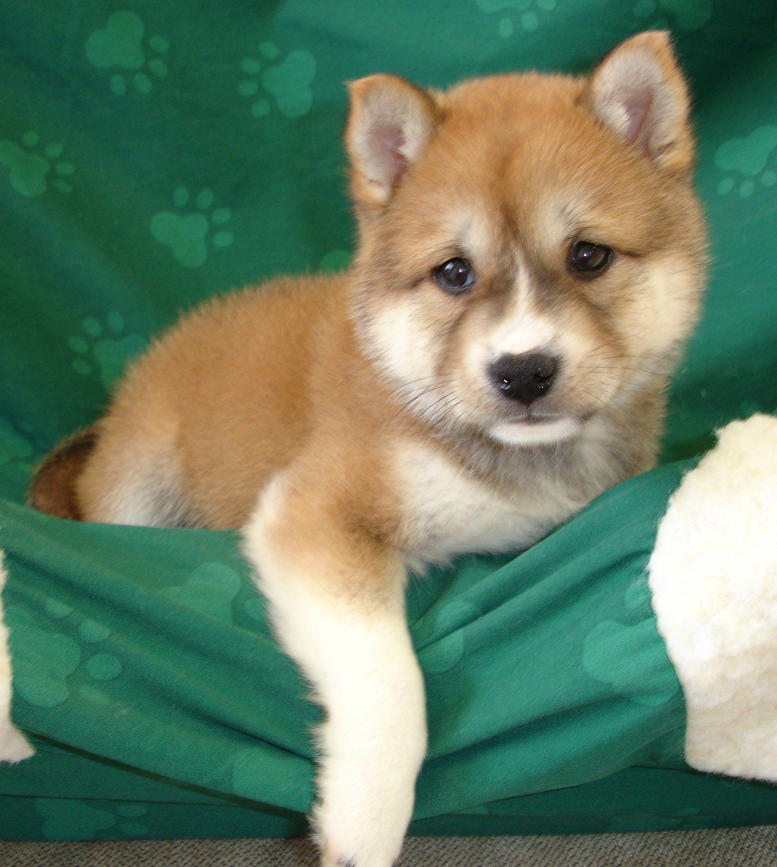 Shiba Inu For Sale In Pakistan Shiba Inu Red Sesame Puppy