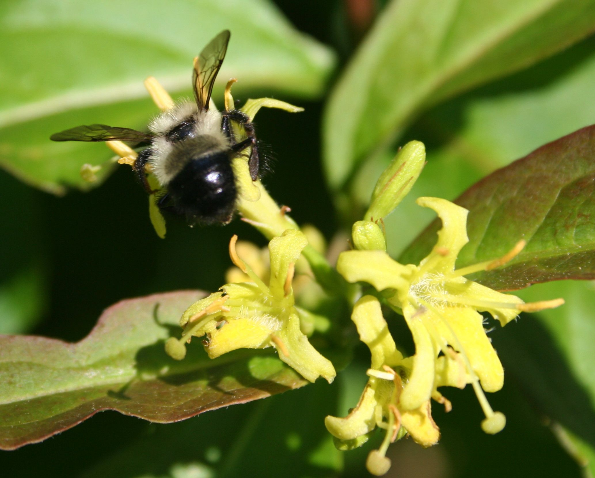 The tubular yellow flowers of diervilla are a source of nectar and pollen for bumble bees and other native pollinators.