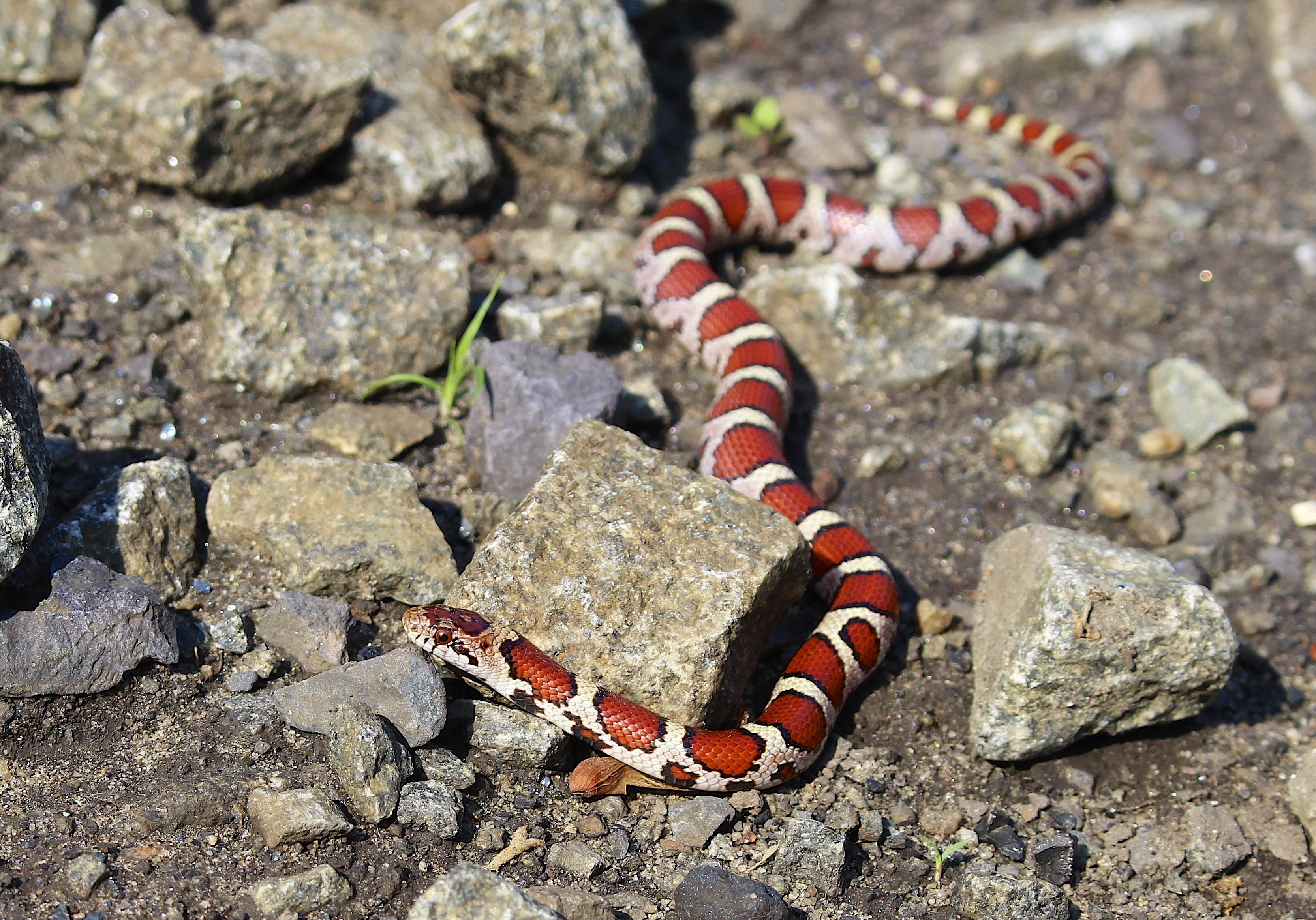 Eastern Milk Snake, Bucks County, PA, May 2016 | Bucks