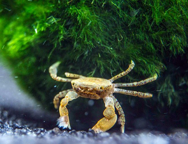 Crab - Freshwater Pom Pom | Things I Love | Crabs for sale, Fresh
