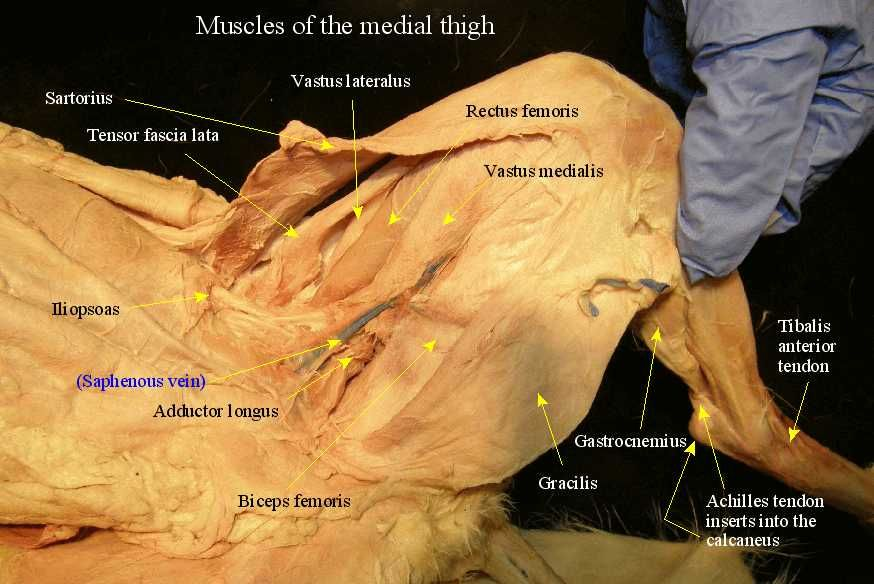 Cat Muscles Labeled | Cat Muscle Dissection Labeled | a&p ...