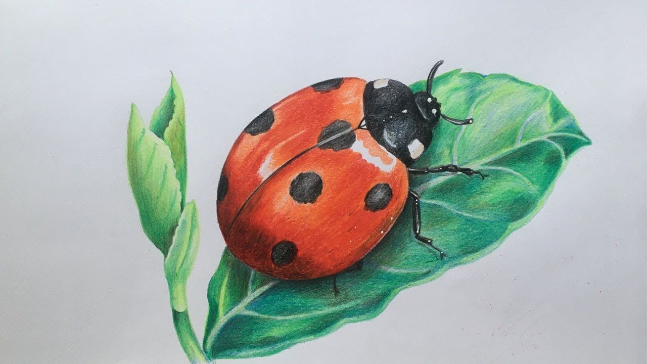 Ladybug Drawing In Color Pencils Realistic Ladybug Drawing Faber Castell Polychromos Youtube Bugs Drawing Lady Bug Drawing Color Pencil Drawing