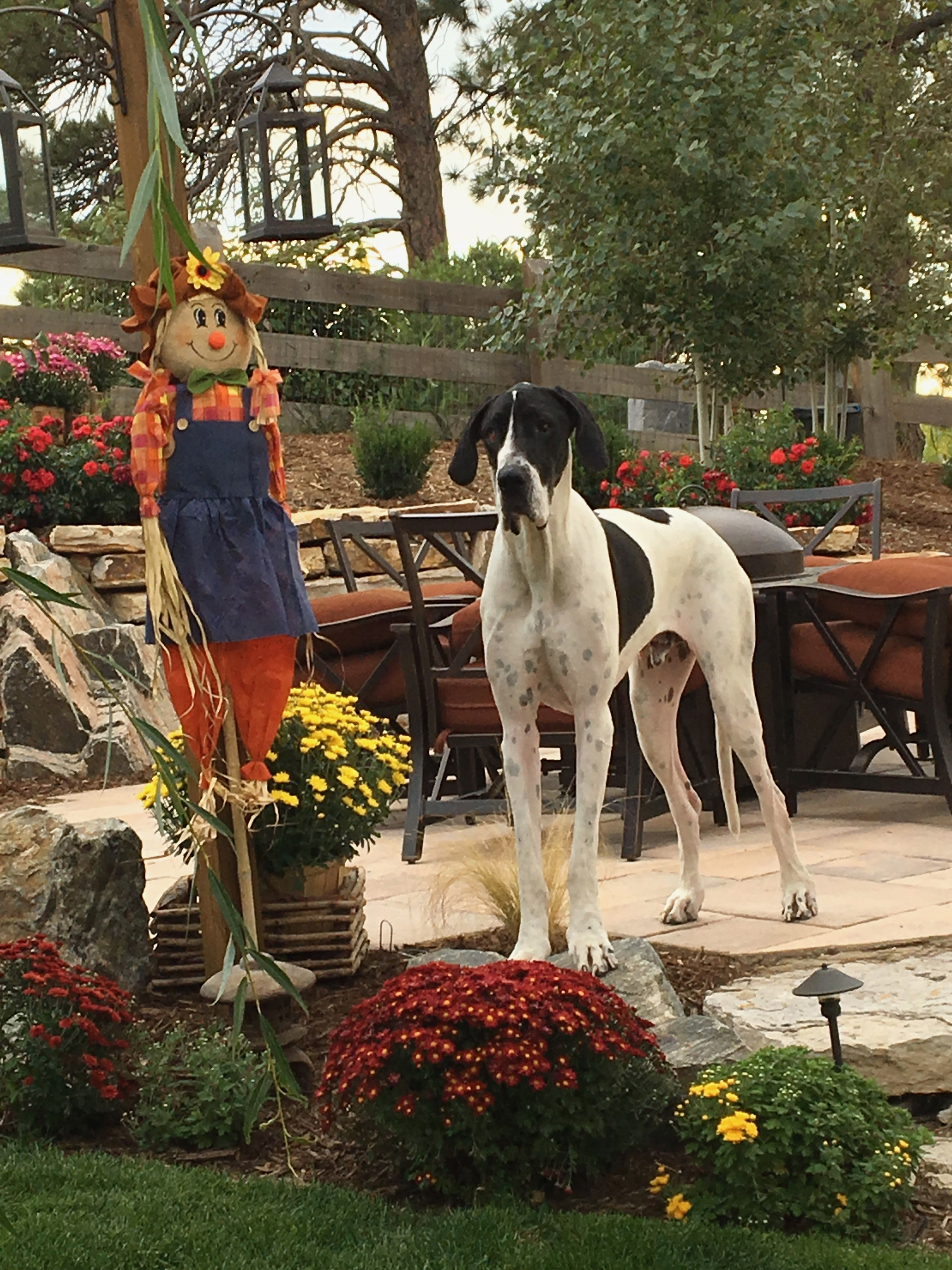 Sarge Our Great Dane And Fall Decor Great Dane Great Dane Puppy