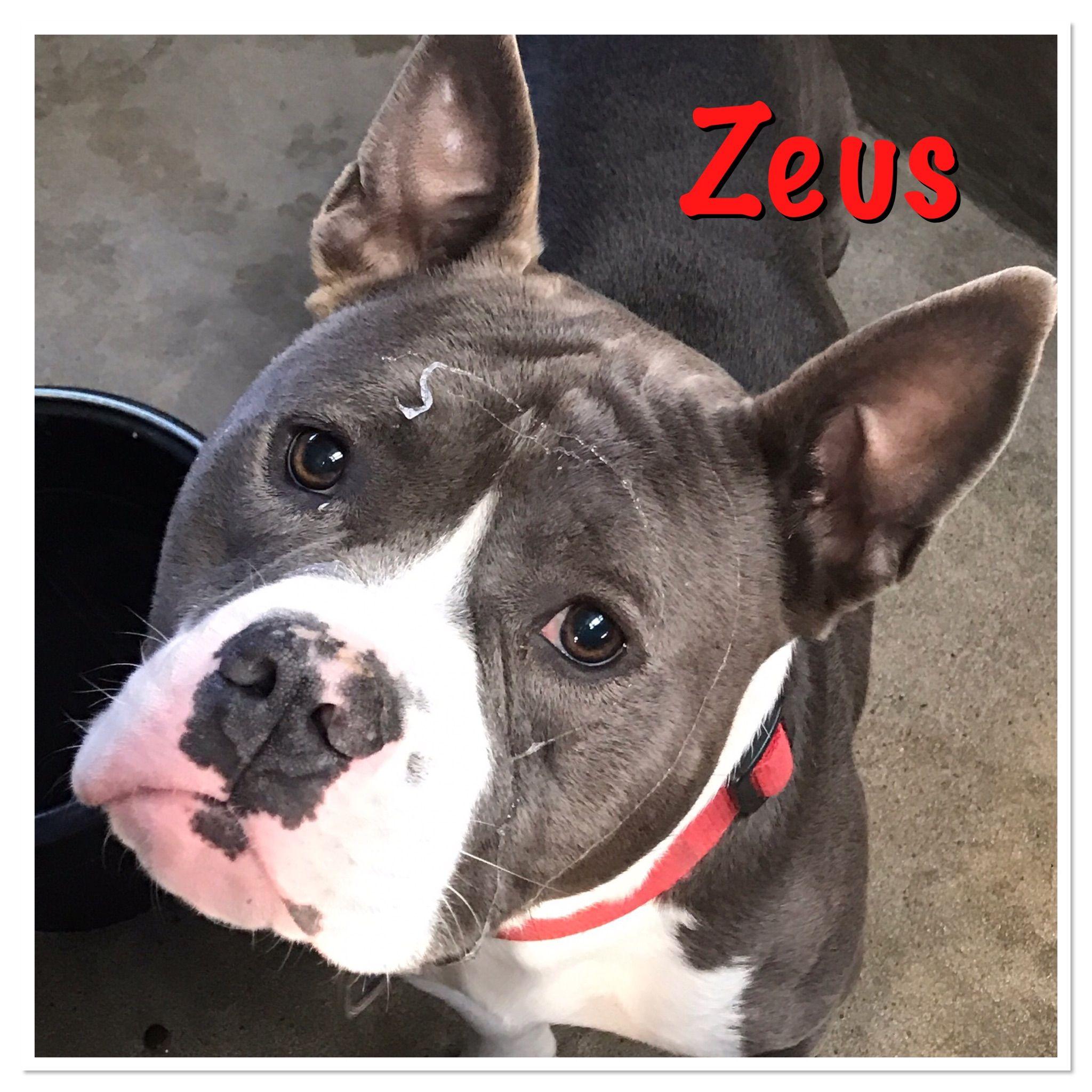 French Bulldog dog for Adoption in Brooklyn, NY. ADN