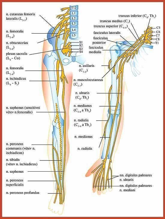 Periferik sinirlerin bozuklukları. Mononöropati - Nöroloji - ZDN ...